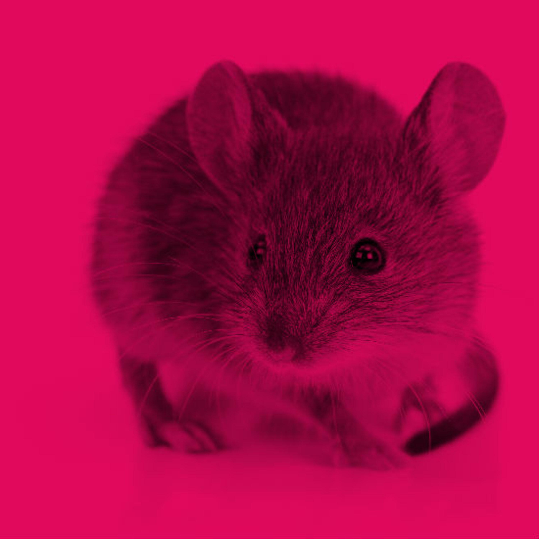 """מדענים הצליחו """"להצעיר"""" מוחם של עכברים"""