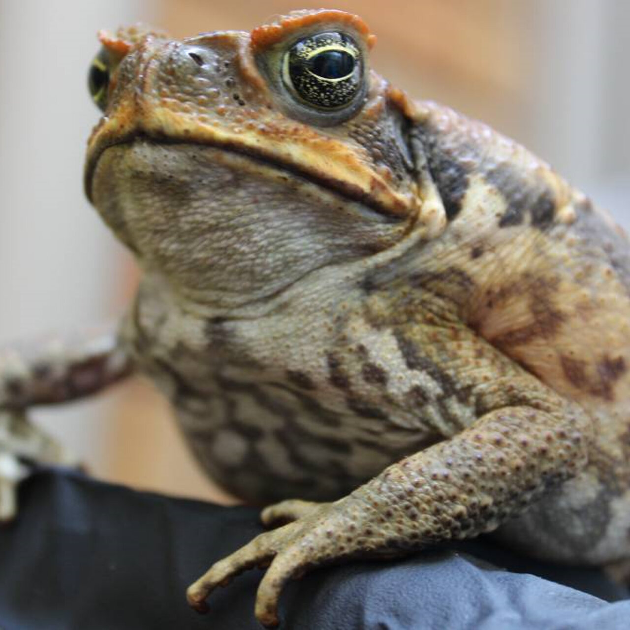 Mandy & Akmal - Stinky sausages made of cane toad flesh have been scattered from helicopters in a world-scale trial | Mandy has another quilt update | Suburban Roll Call