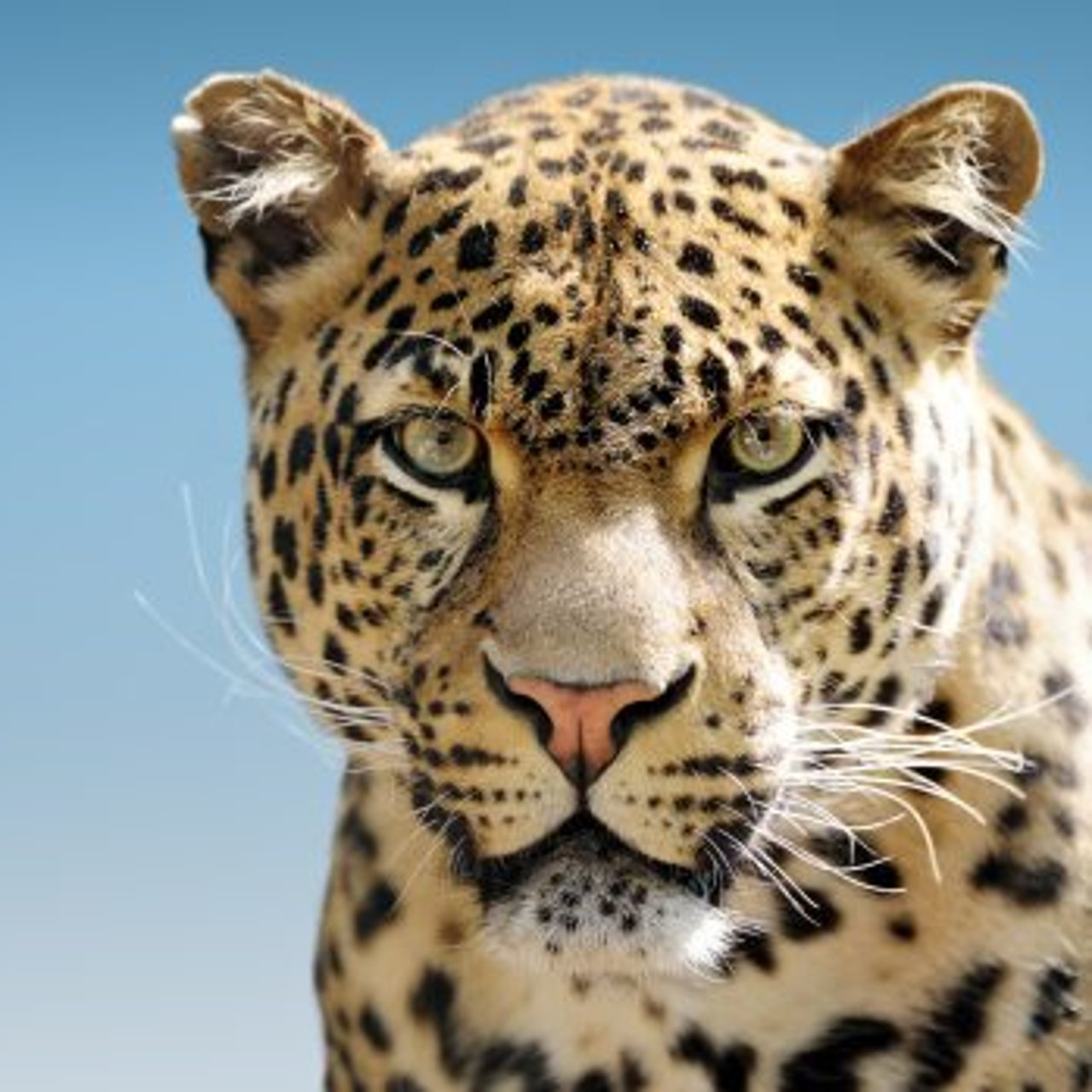 Mandy & Akmal - Mandy & Akmal asked a leopard from Taronga Zoo to come in and share its predictions | Akmal says meeting Whitto's dog was like meeting the Pope | Anguished drivers have blamed a plane for poo that fell from the sky