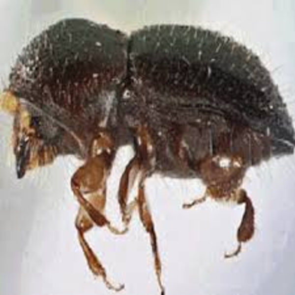 Pippa's Planet: Highly invasive beetle species is threatening trees in W Cape