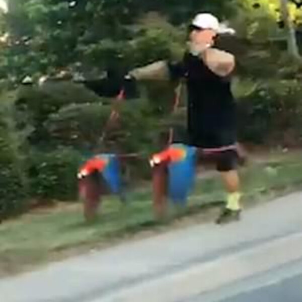 What's Viral - Bird-brained! Owner takes two parrots on leads out for a run