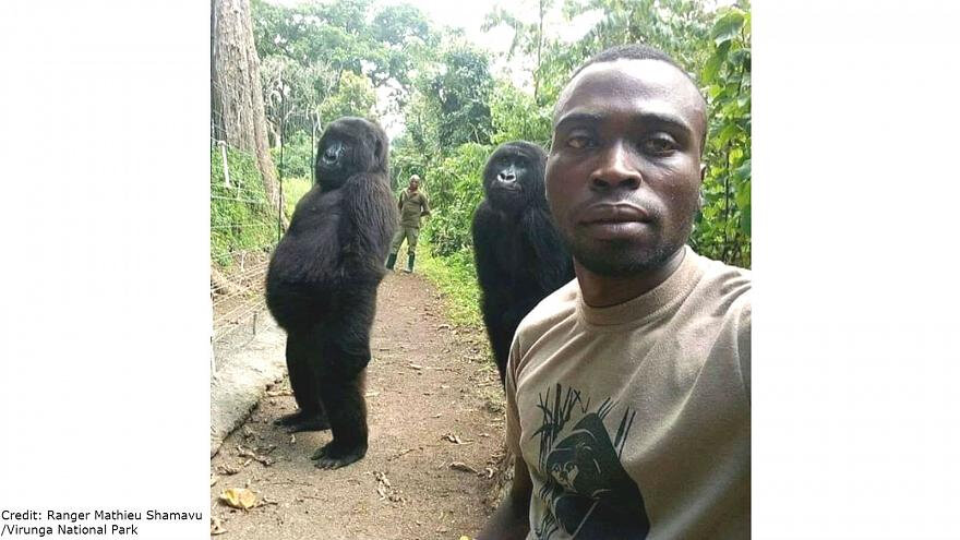 What's gone Viral - Orphaned gorillas strike a pose in selfie with park ranger