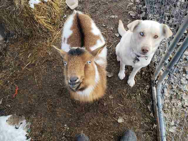What's gone Viral - Man dog goes missing but returns with goat