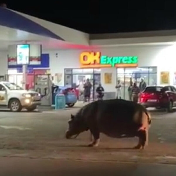 What's gone Viral - Hippo casually walks through petrol station in St Lucia
