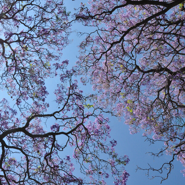 Travel feature: Self drive routes to explore Gauteng's Jacarandas