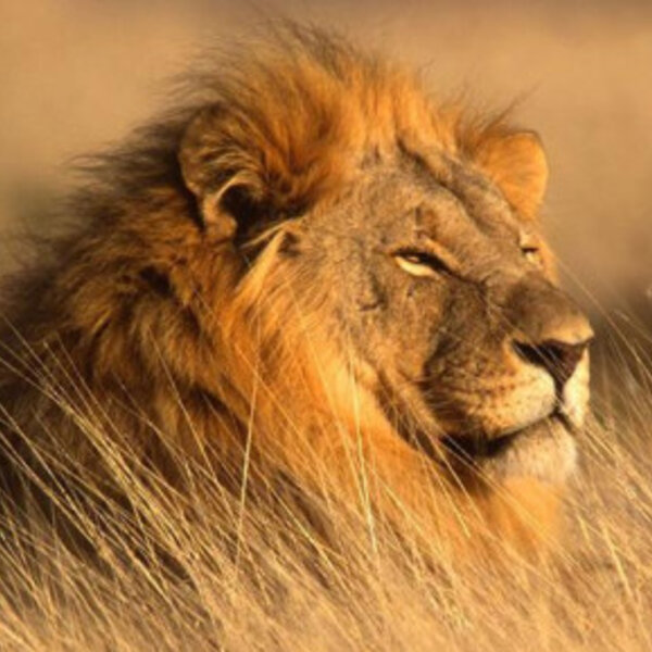Pretoria man mauled to death by lion