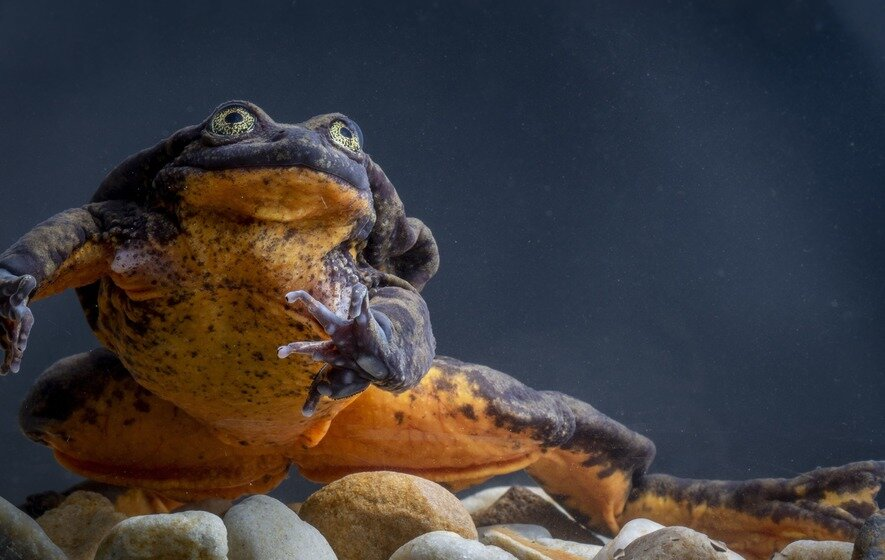 World's 'loneliest' frog, Romeo finally has his Juliet