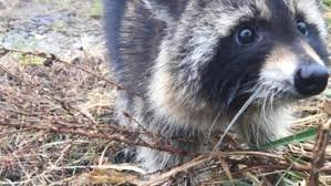 Residents fear erratic raccoons may have rabies, police say they are just drunk