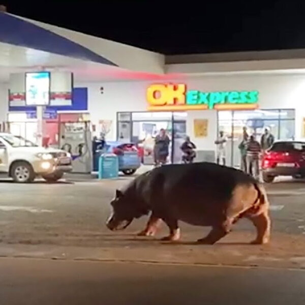 Barbs Wire - Hippo taking a casual stroll to St Lucia garage