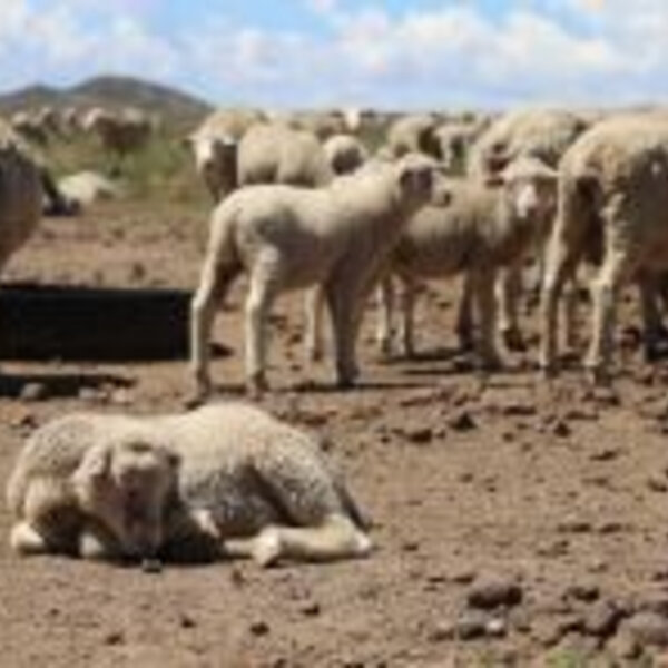 Northern Cape sheep farmers relying on cattle to see them through