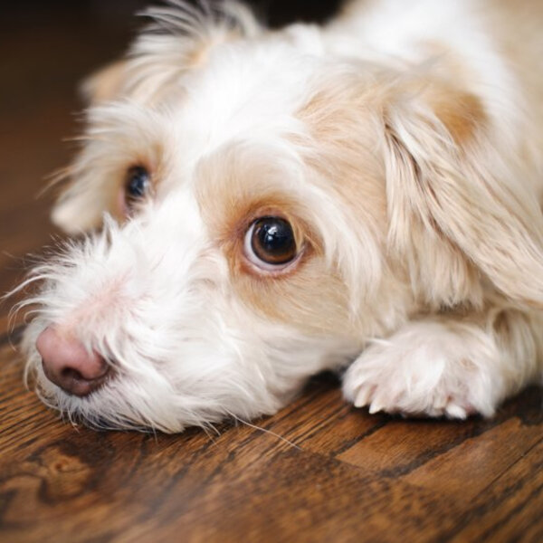 Puppy Dog Eyes: It's SCIENCE