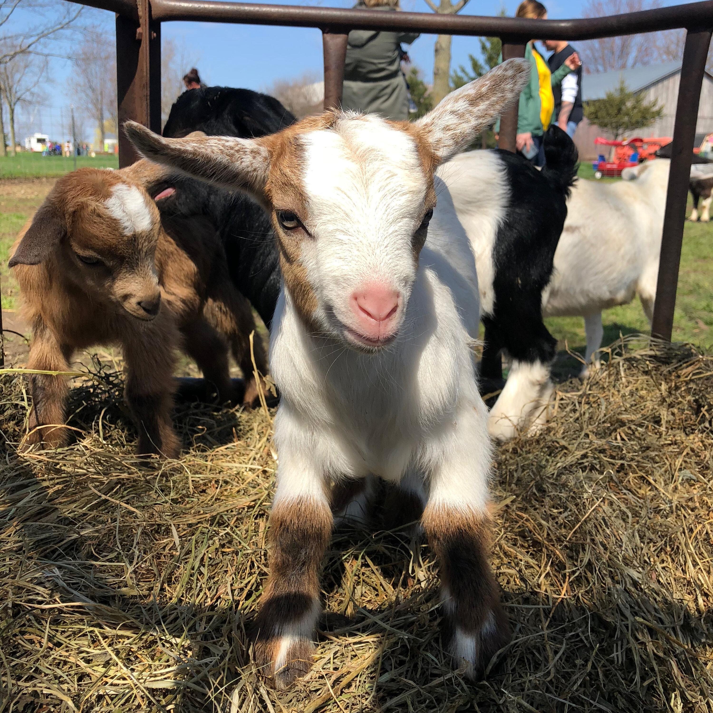 Fostering Farm Animals