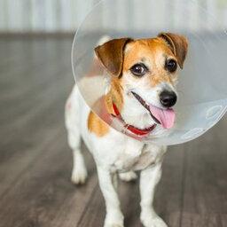 Pode castrar um cão de 7 anos?