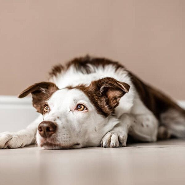 Como identificar a intensidade da dor no seu cão ou gato?