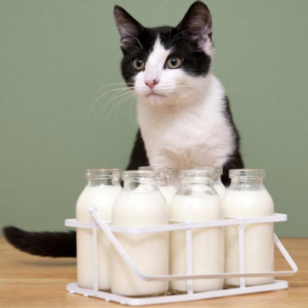 Você sabia que a maioria dos gatos costuma ser intolerante à lactose?