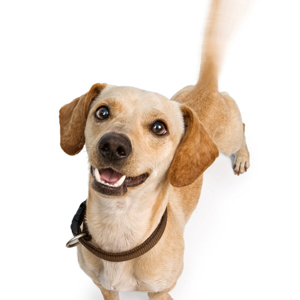 Você sabia que abanar o rabo nem sempre significa que o animal está feliz?