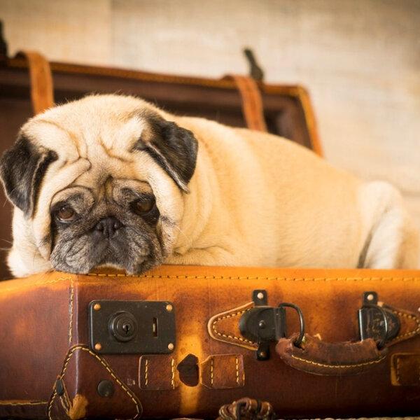 Vai viajar de avião e quer levar seu animal? Saiba como!