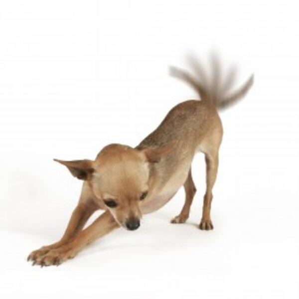 Abanar a cauda significa que o cão está feliz?