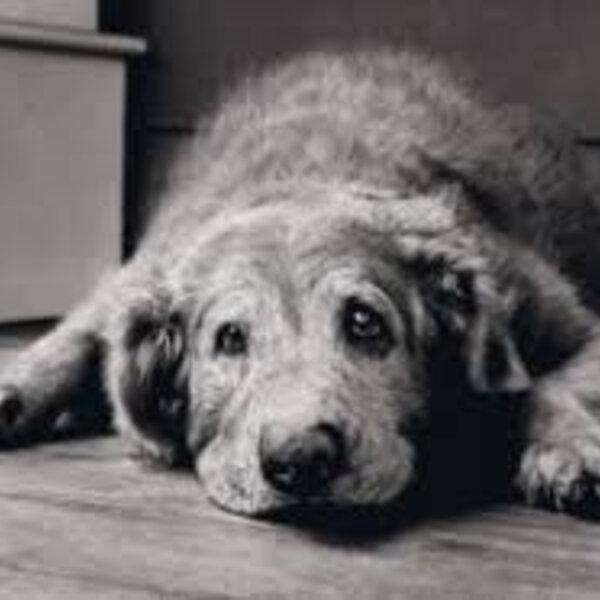 Hoje é o Dia Mundial da Conscientização do Alzheimer. Você sabia que cães e gatos idosos apresentam disfunção cognitiva semelhante à doença dos humanos?