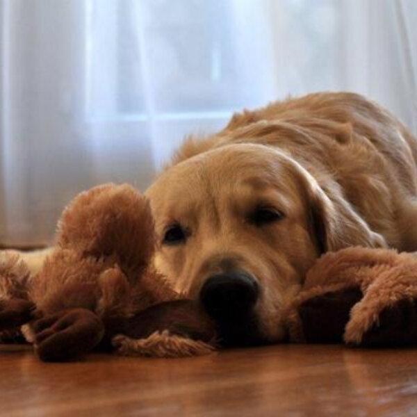 Aprenda a deixar seu cão sozinho em casa