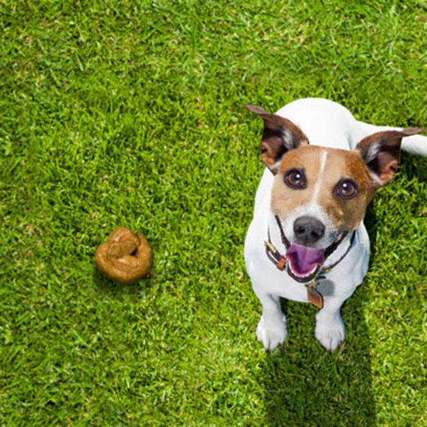 Coprofagia canina: saiba como evitar