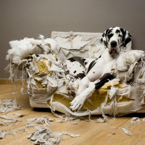 Seu cão tem o hábito de cavar o chão ou o sofá?