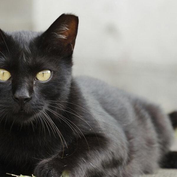 Chega de mito do gato preto!