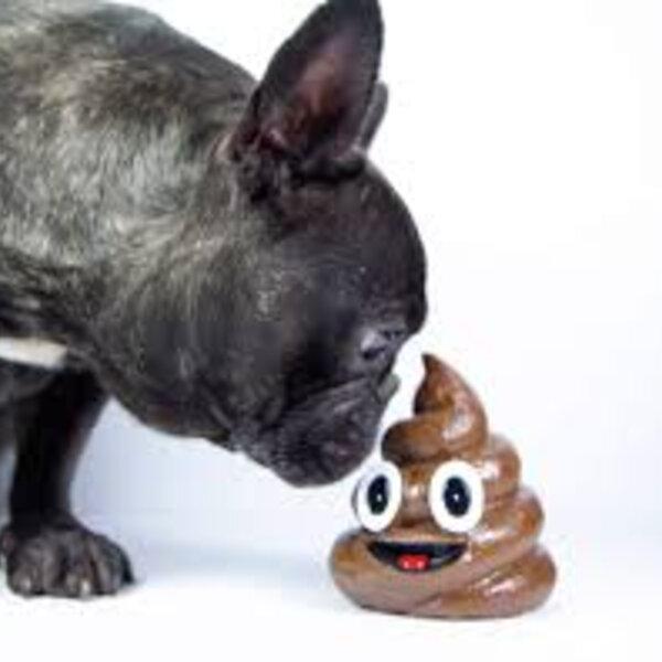 Entenda porque seu animal tem o estranho hábito de comer fezes