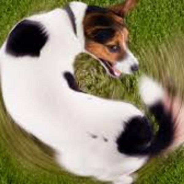 Você sabia que abanar a cauda não significa que seu pet esteja feliz?
