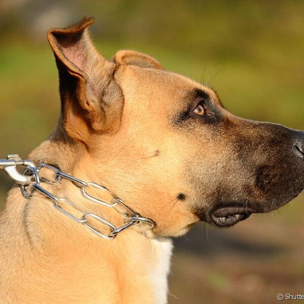 Usar enforcadores pode trazer riscos ao seu cão
