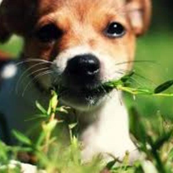 O hábito de comer plantas