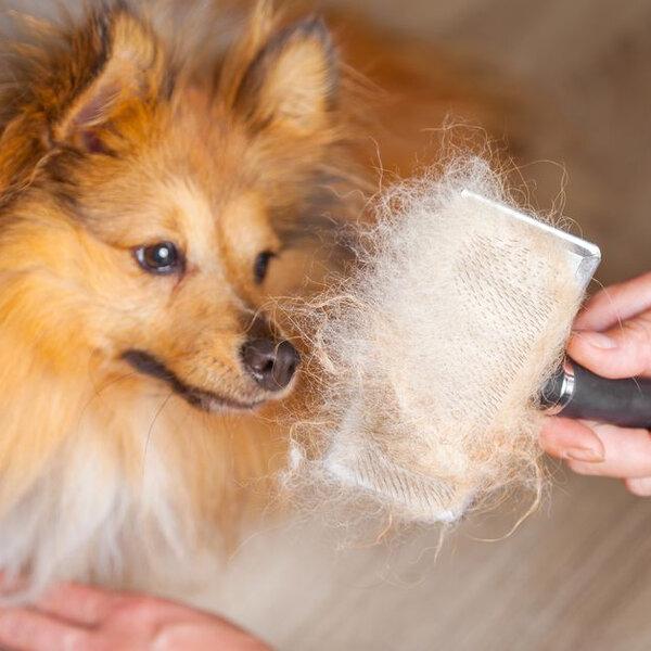 Os pelos do seu animal têm caído mais no calor?