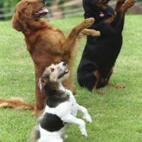 Você sabe a melhor formar de modelar e corrigir o comportamento do cão?