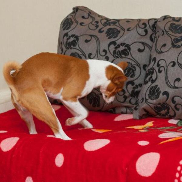 Por que os cães arranham o chão antes de deitar?