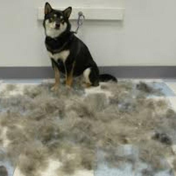 É comum cães e gatos perderem pelo?