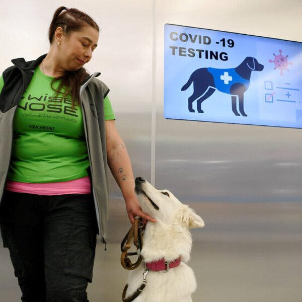 Hoje foi publicado um estudo utilizando cães farejadores para o diagnóstico de Covid