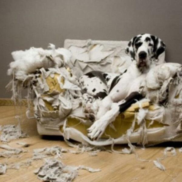 Cachorros costumam cavar na própria caminha, no sofá e nas almofadas... Sabe por quê?