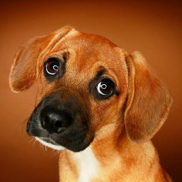 Mito ou verdade: a cara de culpa dos cães quando você chega em casa e percebe alguma traquinagem deles?