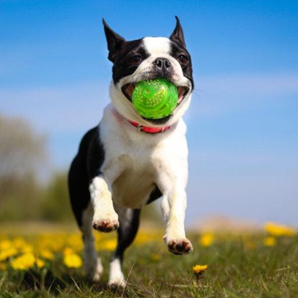 Saiba da importância do passeio para o seu cão