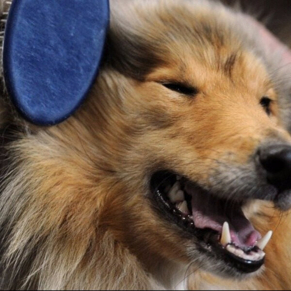 Escove o pelo do seu cachorro e veja os benefícios para ele e para sua casa