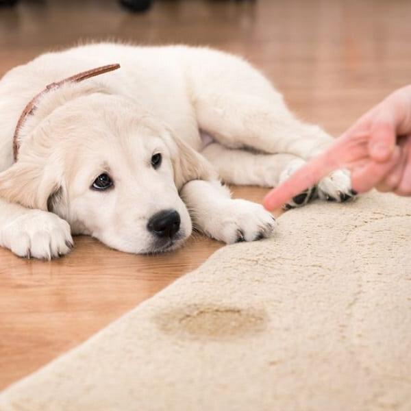 Como ensinar seu pet a fazer suas necessidades num lugar determinado?
