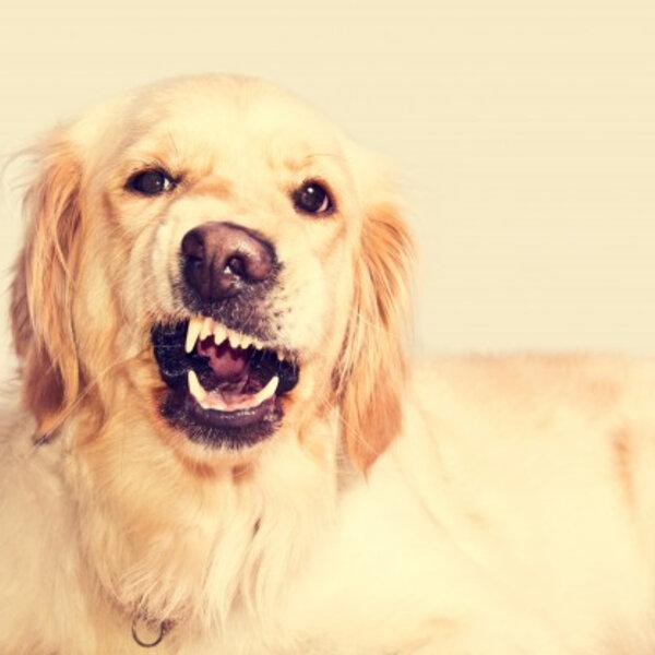 Seu animal pode se comportar de forma agressiva por medo