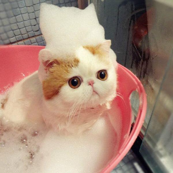 Não dê banho no seu gato!
