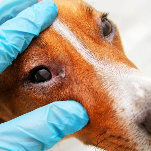 Hoje, 7 de maio, é Dia do Médico Ofatlmologista. Seu animal costuma apresentar algum problema ocular?