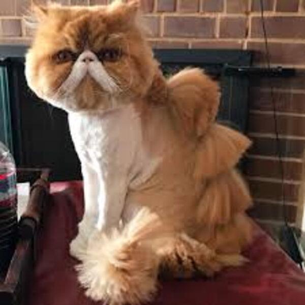 Gatos podem ser tosados?