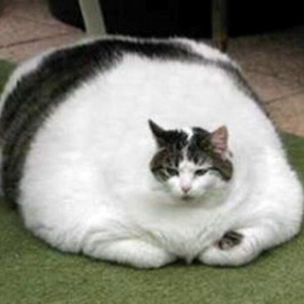 Obesidade em cães e gatos